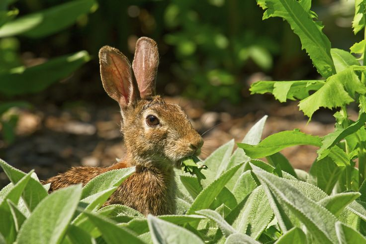 14 Best Rabbits Deter Images On Pinterest Vegetable Garden Vegetables Garden And Flower Beds