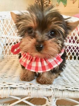 Yorkshire Terrier Puppy For Sale In Los Angeles Ca Adn 63803 On