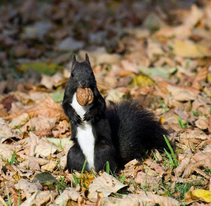 28 best Black Squirrels images on Pinterest  Black squirrel