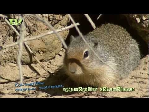 The Columbian ground squirrel lives in open alpine meadows, dry grasslands and brushy areas.   Looking for broadcast footage? Don't shoot! Contact  http://www.stockshot.nl/english/startuk.htm ©