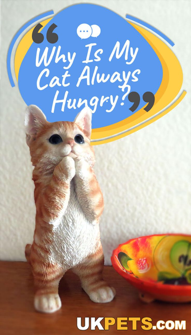 Why Is My Cat Always Hungry? (With images) Kitten care