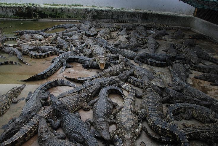 Crocodiles, Cambodia.