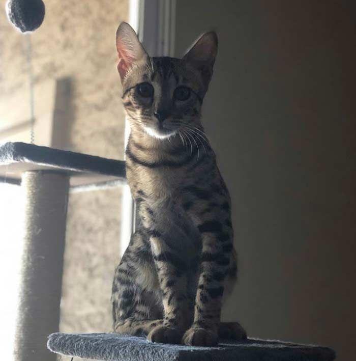Gato Savannah Todo Sobre El Gato Más Alto Del Mundo Feelcats Gatos Savannah
