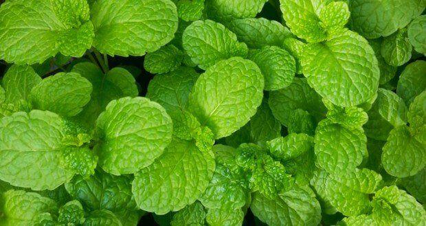 Elimine a gordura do fígado com esta planta!
