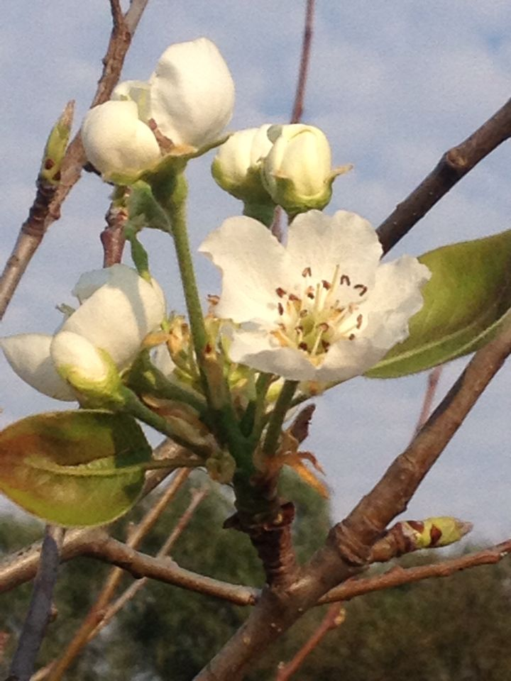 Pear tree blossoms as summer approaches in the Karoo. 20150916