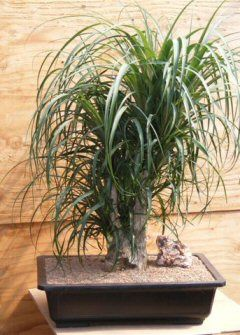 17 best images about palms on pinterest cats indoor for Ponytail palm cats
