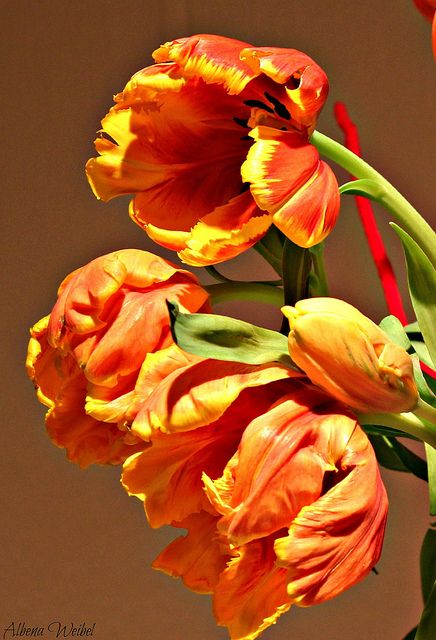fire tulips....Photo by Albena Weibel, Switzerland.  via Flickr                                                                                                                                                                                 Mais