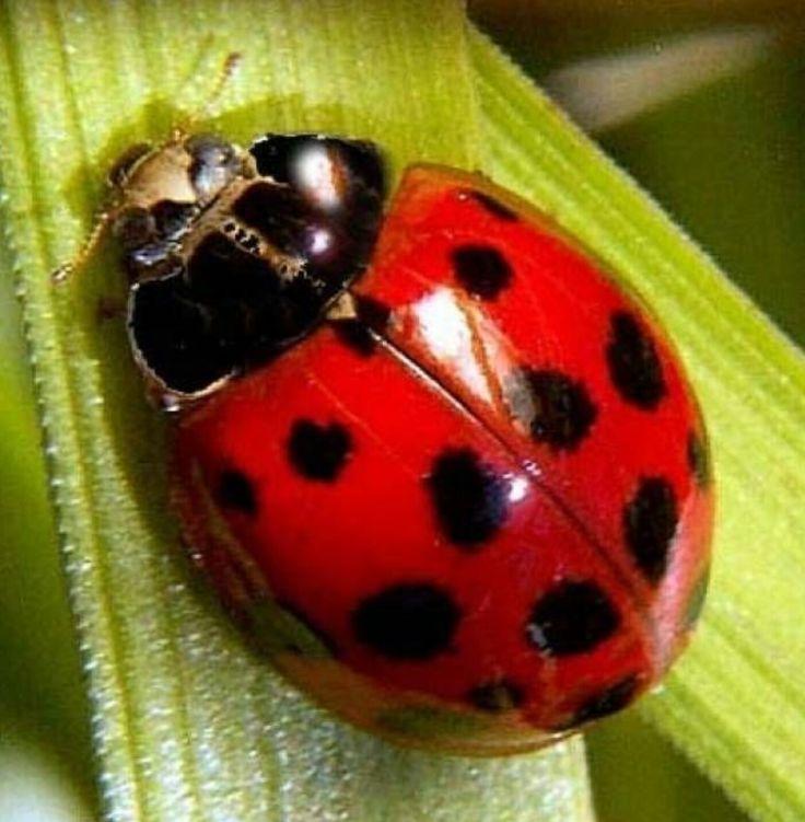 22 besten marienk fer ladybug bilder auf pinterest marienk fer wasserfarben und schmetterlinge. Black Bedroom Furniture Sets. Home Design Ideas