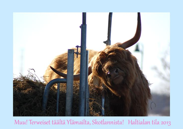 Portfolio Multimedeia: Pääsiäinen 2013: Skottilehmä Haltialassa