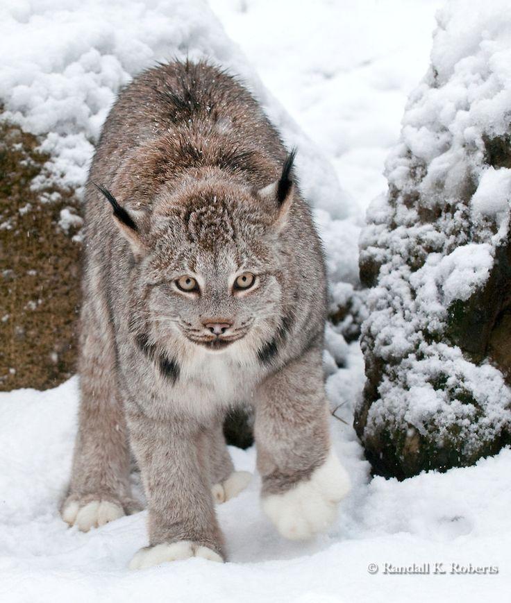 935 Best Lynx Images On Pinterest