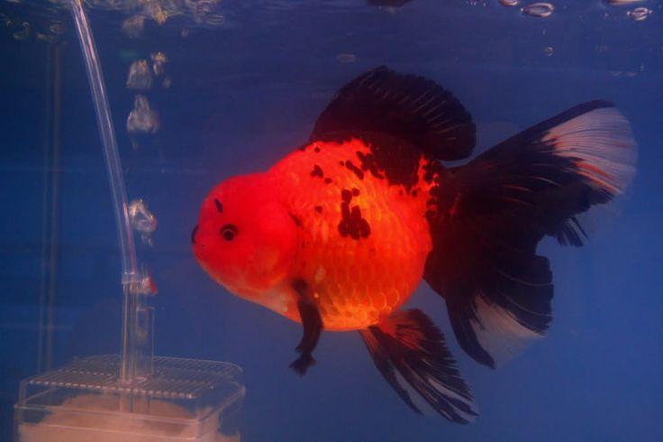 Oranda Gold Fish 29