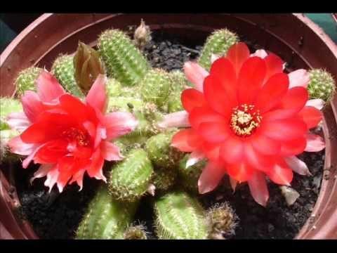 San Fabián de Alico. Flores de cactus, al sur del mundo.