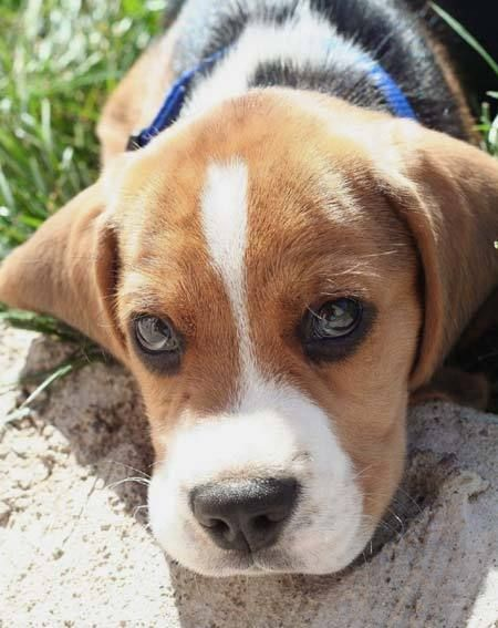 Southwell the Beagle