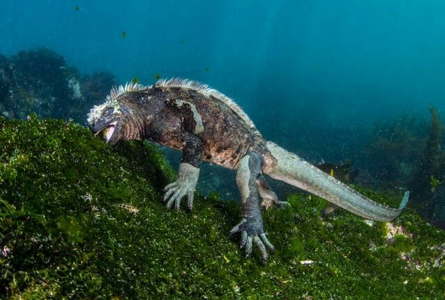 DECEMBER 2, 2017ALL YOU CAN EAT  A marine iguana feeds on underwater greens in the Galápagos, the only place these creatures are found. The iguanas spend much of their days sunning on rocks by the shore, but they can spend up to 15 minutes underwater in order to feast.  PHOTOGRAPH BY THERESA GUISE,