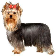 """RAÇAS PEQUENAS - YORKSHIRE  OUTROS NOMES: yorkshire terrier, """"yorkie""""."""