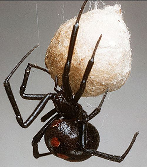 Black Widow with egg sac   >   Black Widows are very intelligent...they are talkers for sure...