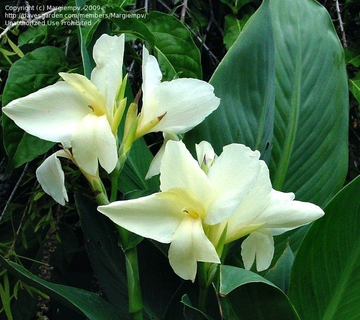 white canna lily plant images. Black Bedroom Furniture Sets. Home Design Ideas