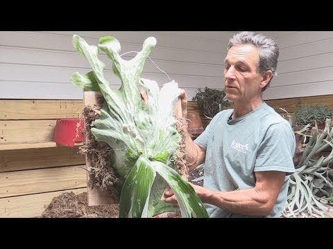 How to Divide and Mount a Staghorn Fern (Platycerium andinum) - YouTube