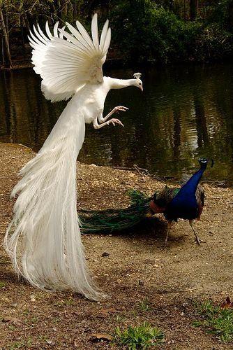 beautifull peacock animals