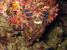 Blue Ringed Octopus - Beautiful Yet Deadly