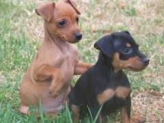 Miniature Pinscher Pups | Miniature Pinscher puppies for sale Boyup Brook Western Australia on pups4sale - http://www.pups4sale.com.au/dog-breed/463/Miniature-Pinscher.html