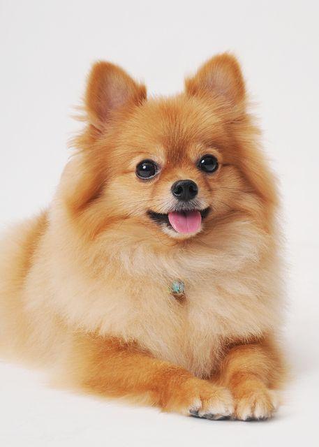 19. Pomeranian | Se encariñan rápidamente con sus dueños y pueden sufrir…