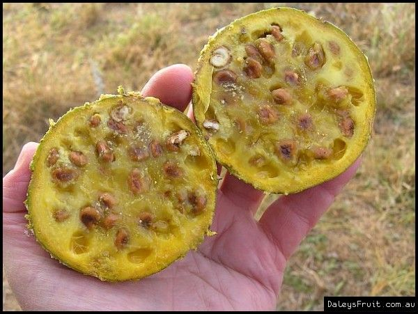 Australian Bush Tucker Wild Orange - Capparis mitchellii fruit compliments of pilliga flora