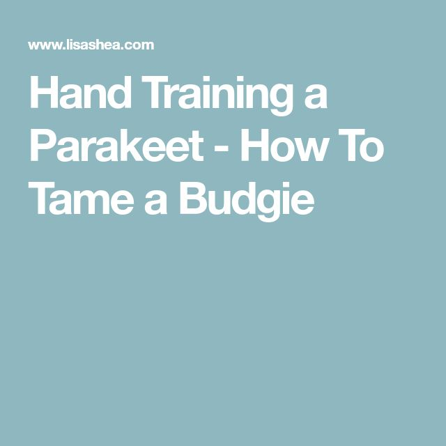 Hand Training a Parakeet - How To Tame a Budgie
