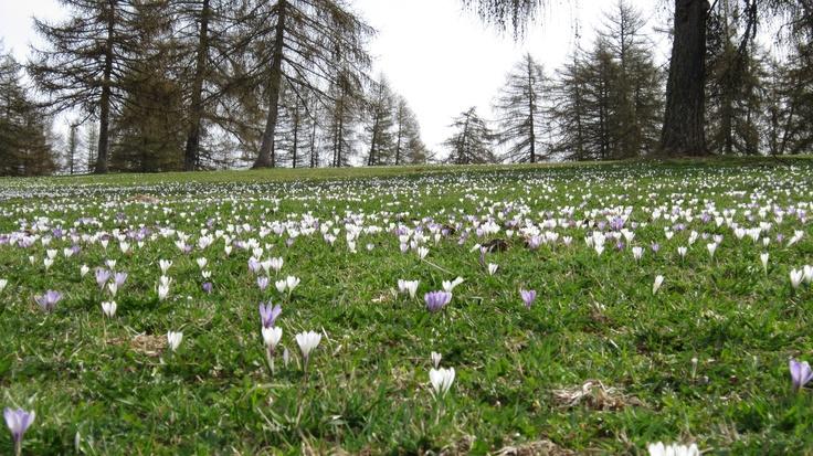 Wenn der Schnee im Frühling schmilzt kommen die Frühlingsblumen  zum Zug und erblühen in all Ihrer Pracht. Bei den geführten Frühlingswanderungen vom Hotel Schönblick aus bekommt man z.B. beeindruckende Krokuswiesen zu sehen