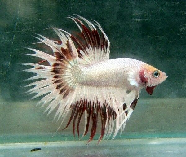 Dragon Red Marble Butterfly Crowntail male