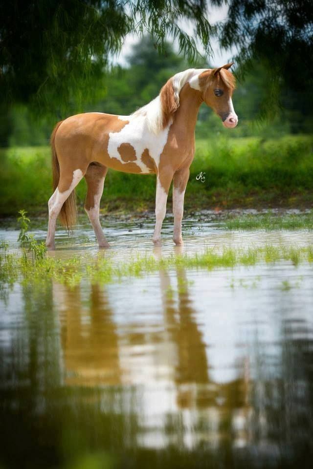 Gorgeous Chestnut Pinto Mini Standing in the Stream.