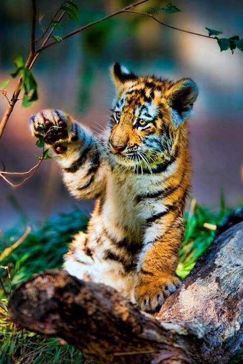Tiger cub.....