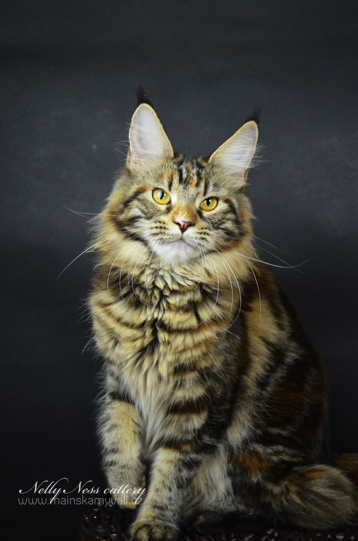 Maine Coon, black torti tabby blotched (f 22). Genevieve Nelly Ness*CZ