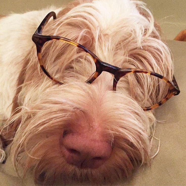 Zzzzzz happy dog! dogsofinstagram spinone spinoneitaliano