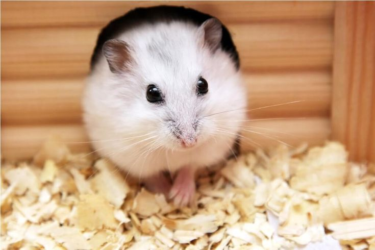 winter white hamster personality