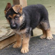 pomsky puppies for sale in australia - Google Search