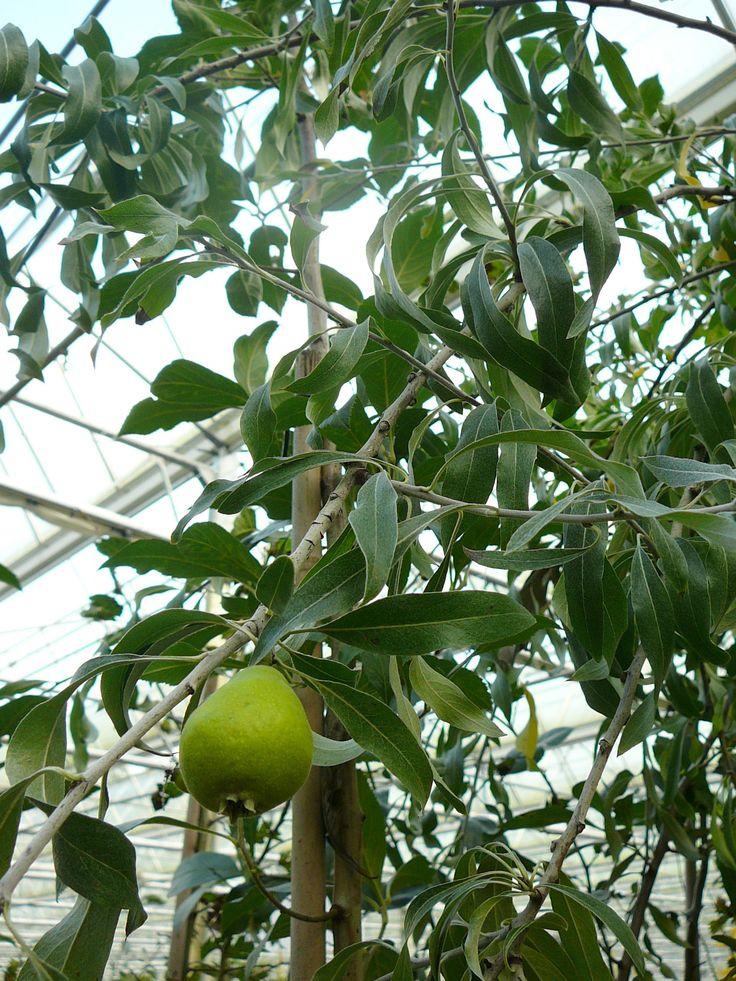 Pyrus salicifolia 'Pendula' / sierpeer