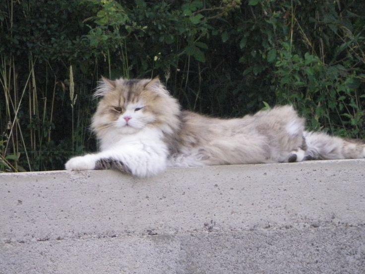 fifi chat persan pose sur la murette