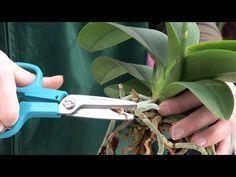 Orchideen wieder zur Blüte bringen mit Tips aus dem Orchideengarten Karge in Dahlenburg – YouTube – Petra Slowther