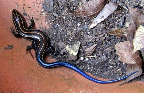 Blue-tailed Lizard. these things are pretty cooool <3