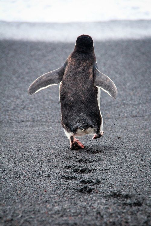 Best Penguins Pinquin Images On Pinterest Penguin S - Penguin in japan happily walks to local fish market everyday for lunch