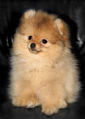 pomeranian sheepdog photo | Köpek, Köpekler, Köpek Cinsleri, Köpek Türleri, Köpek Eğitimi ...