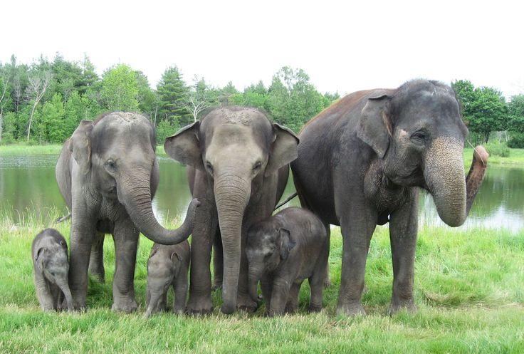 Hannah was born October 19th, 2014, Gigi was born February 24th, 2015 and Anna May was born May 4th, 2015! #AfricanLionSafari #Elephants