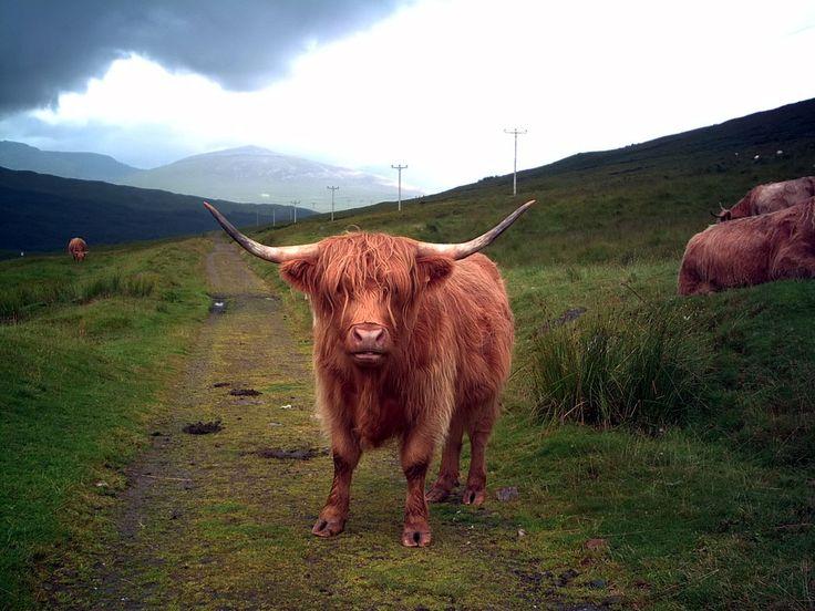 powerfull bull picture