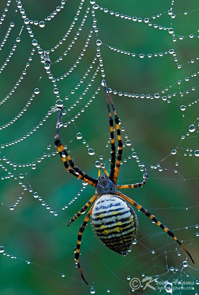 Black and Yellow Argiope Spider (garden spider)-Argiope Aurantia.