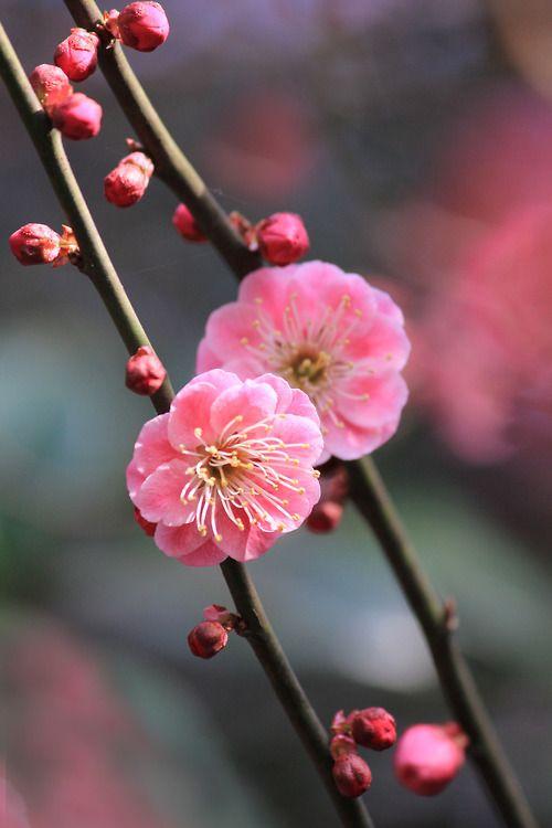 Plum Blossom #japan