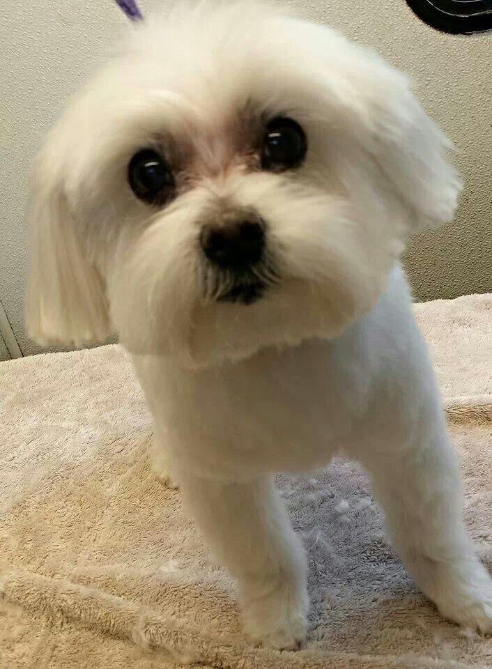 maltese puppy cut pictures maltese puppy cut animal babies pinterest 1630