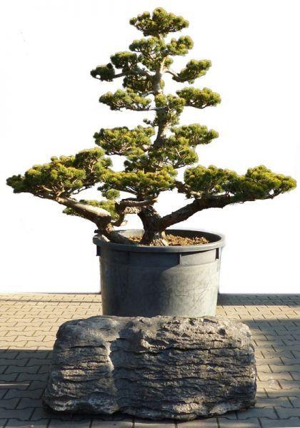 18 besten garten bonsai f r garten bilder auf pinterest. Black Bedroom Furniture Sets. Home Design Ideas