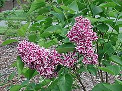 Duftsyrin 'Sensation' Syringa vulgaris 'Sensation'. Vekst: Dette er en busk med kraftig vekst. Den har grå til gul-brun kvist med korkporer og hjerteformete blader.    Blomst  Arten har enkle blå-fiolette (røde) blomster med hvit kant. Vanlig blomstringstid er juni. Blomstene dufter godt. Arten vil ha en solrik plass med varm, kalkrik jord.