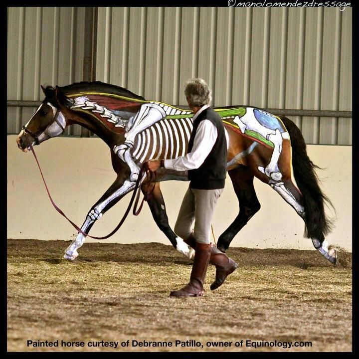 19 Best Equine Physiology Images On Pinterest Horses